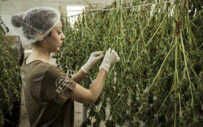Culture de la fleur de Cannabis (guide complet et 3 bénéfices)
