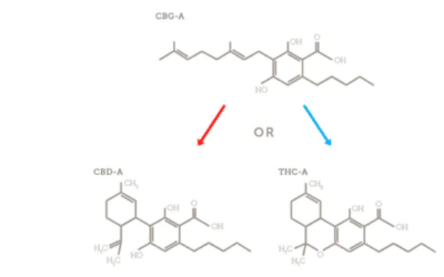 Qu'est-ce que le CBGA et Ses Effets ? (cannabis)
